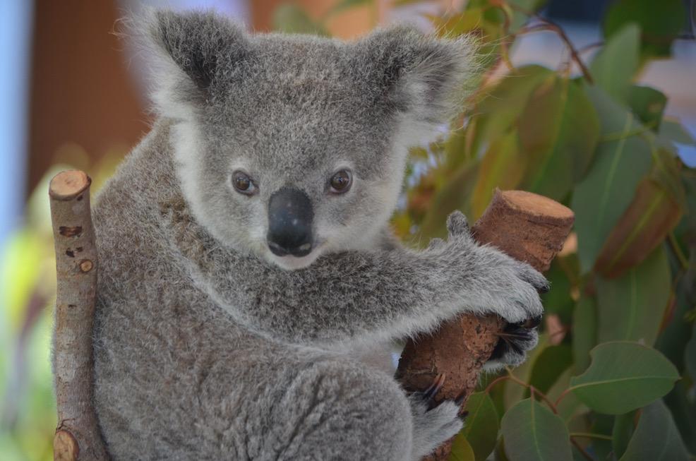 koala4Blog.jpg