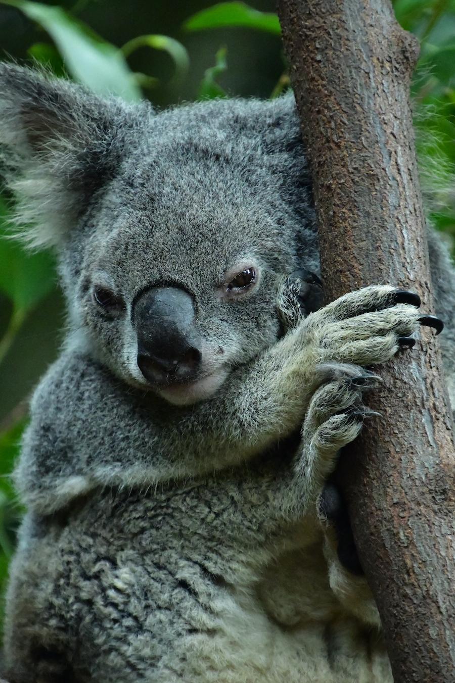 koala_chilling1.jpeg
