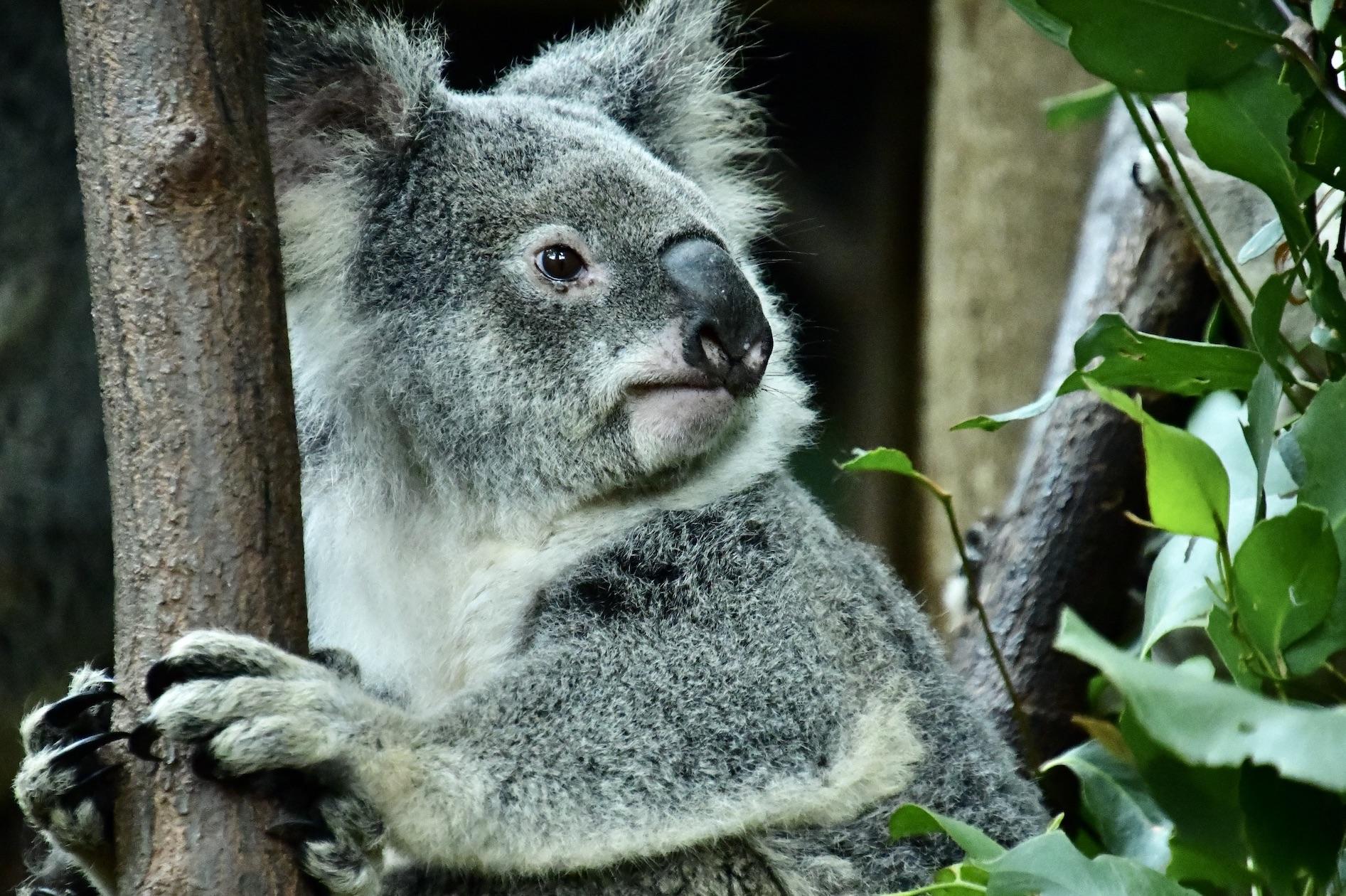 koala_chilling2.jpeg
