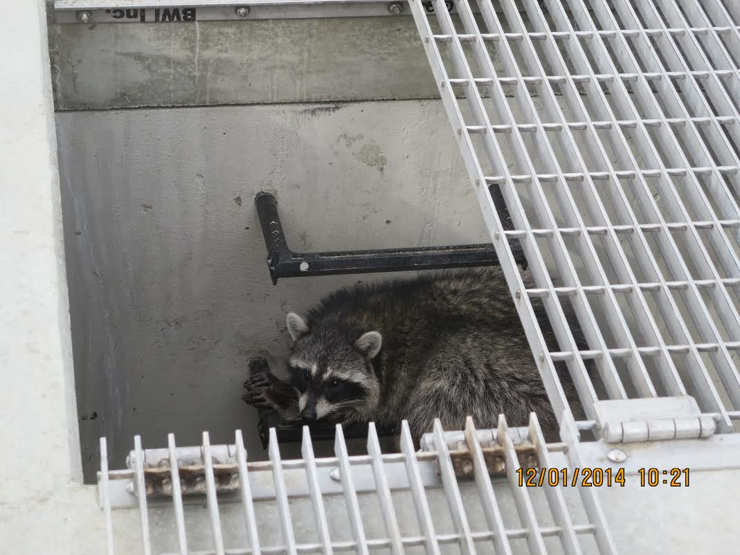 adorable raccoon hiding in storm drain