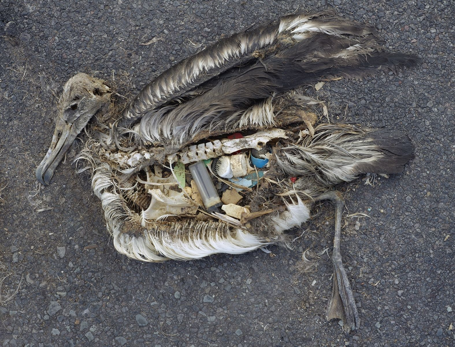 Microbeads_-_Albatross_Plastic_in_Stomach.jpg