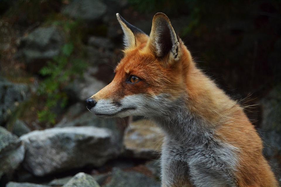 Fox_Hunting.jpg