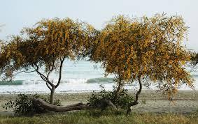Acacia_Tree_Cyprus.jpg