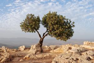 olive_tree_pic.jpg