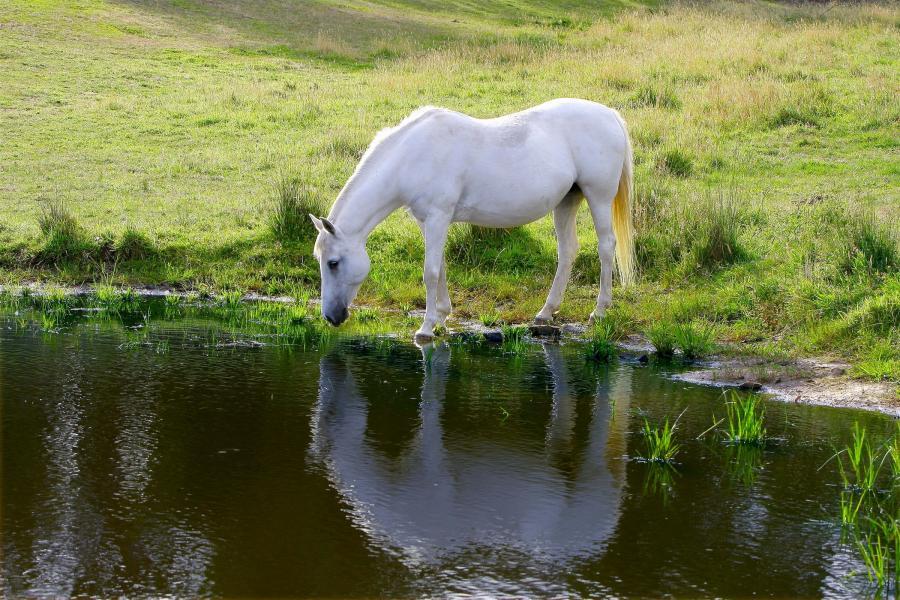 Horse_drinking_water_2.jpg