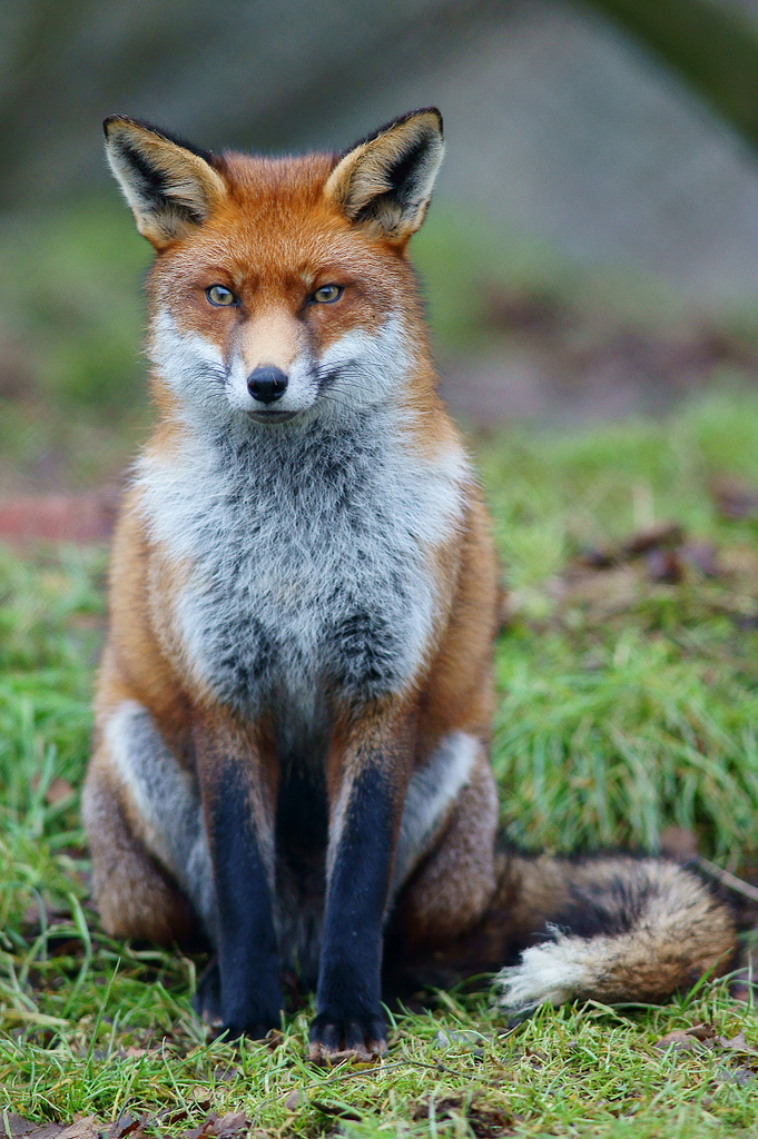By Peter Trimming (Fox Study 6  Uploaded by Mariomassone) [CC BY 2.0 (http://creativecommons.org/licenses/by/2.0)], via Wikimedia Commons