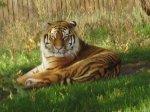 Vladimir the Tiger