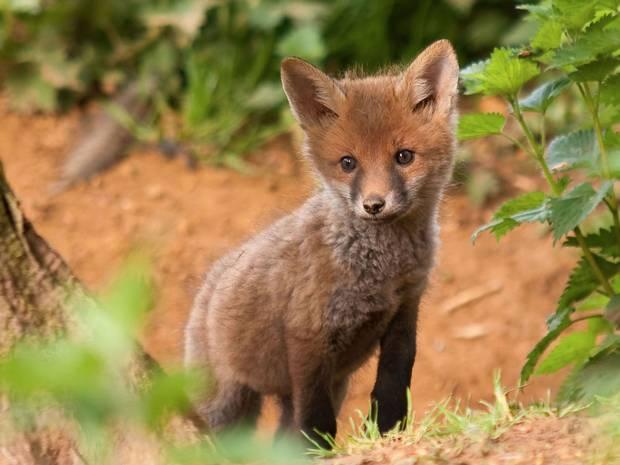 Young_fox.jpg