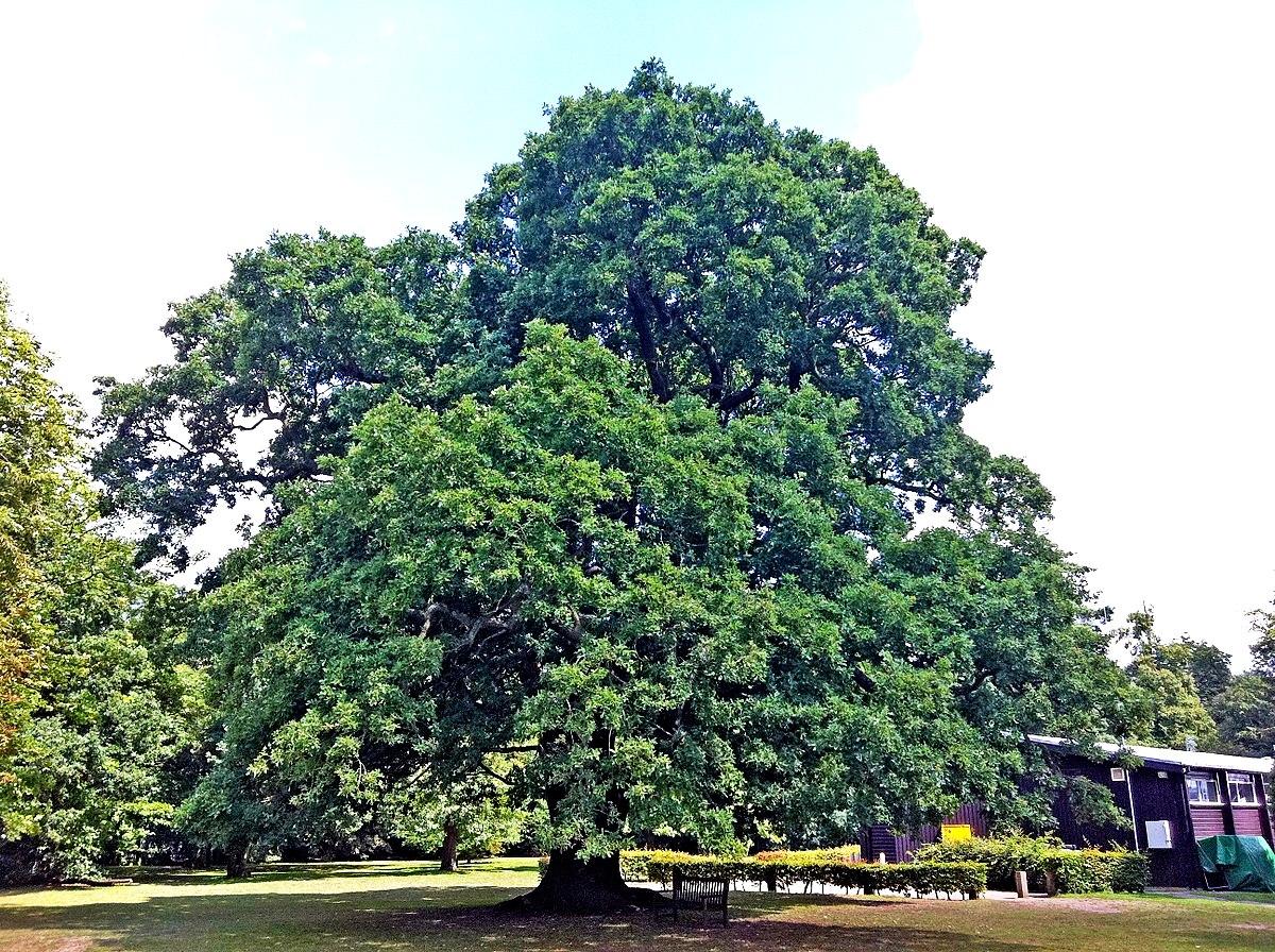 Gilwell Oak