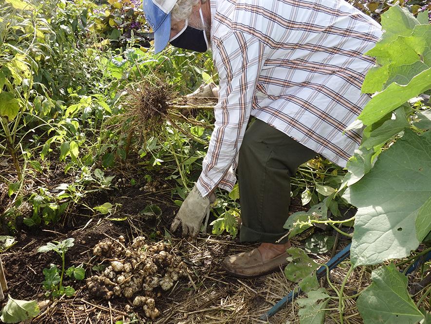 Chad harvesting sunchokes in LA Green Grounds Teaching Garden