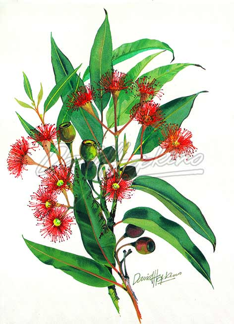 Red_Flowering_Gum.jpg