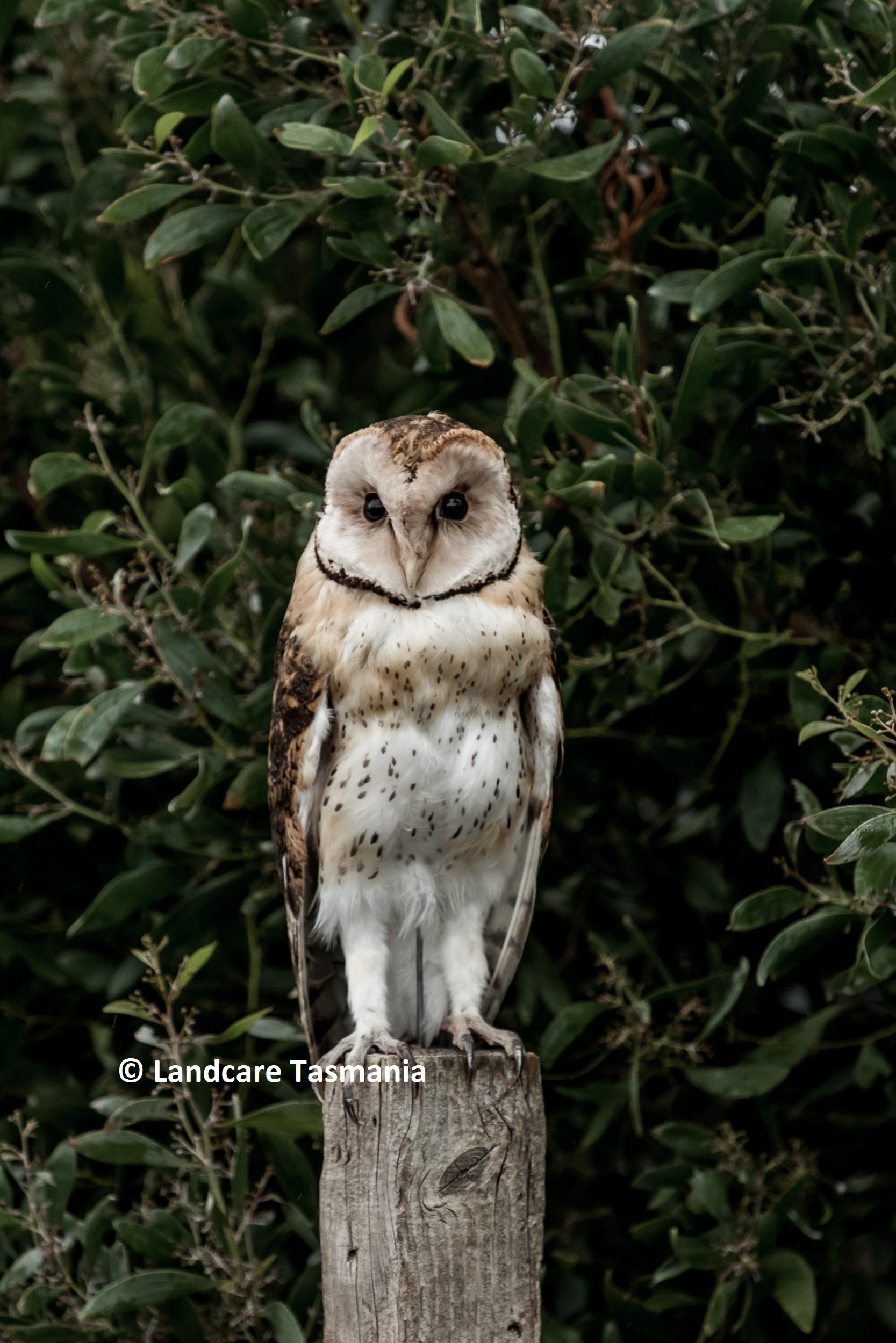 Ameila_the_owl_LandcareTasRodenticidesProg_©NatashaMulhall_web2.jpg