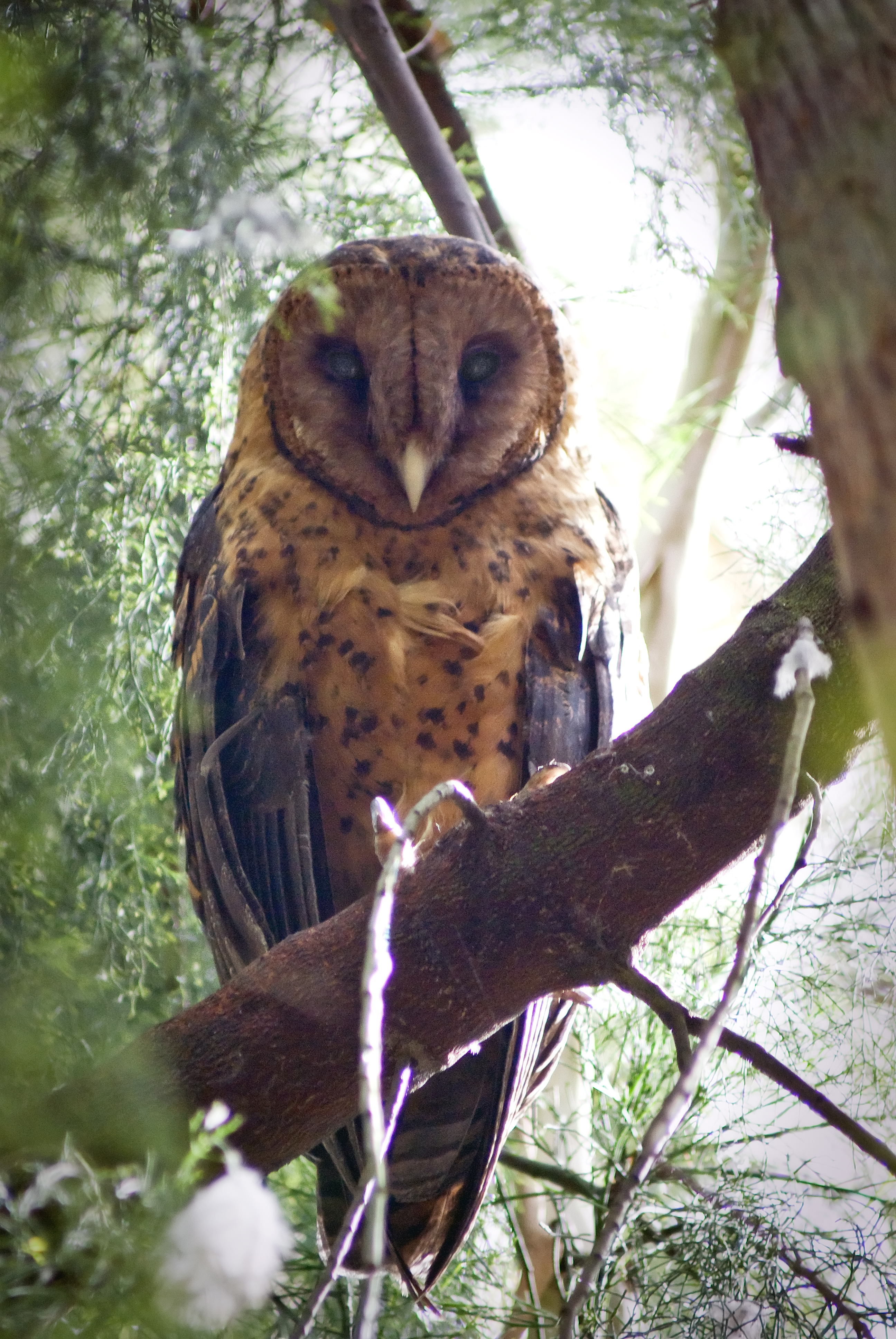 The_Tasmanian_Masked_Owl_is_a_raptor_impacted_by_these_rodenticides_(photo_by_Phil_Milner).jpg