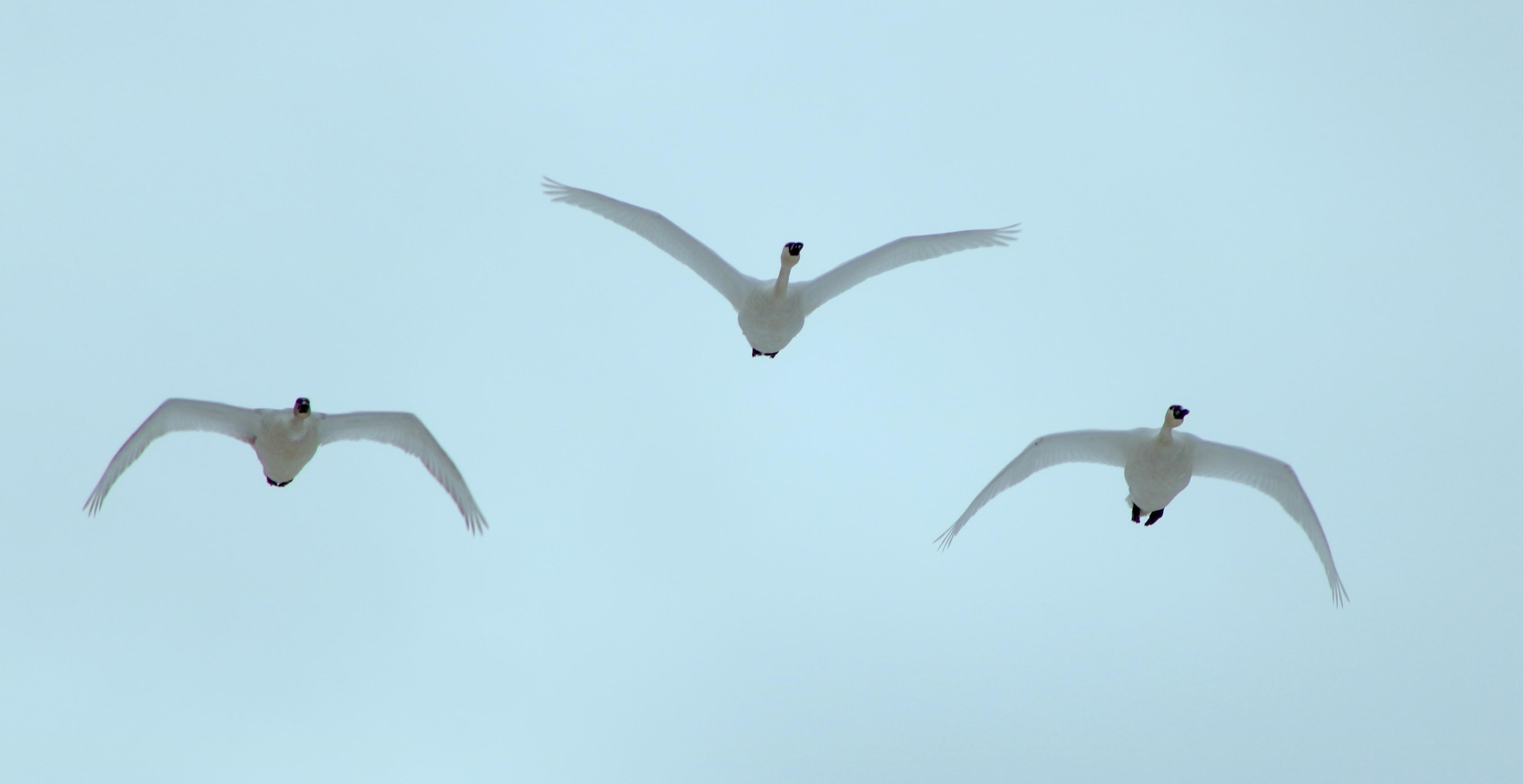 Lisa_McLaughlin-Kent_tundra_swans.jpg