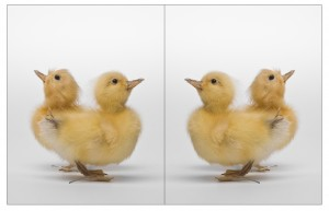 Nathan-Cote-Whats-the-difference-between-a-duck-300x193.jpg