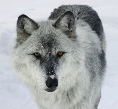 wolf2sized.jpg