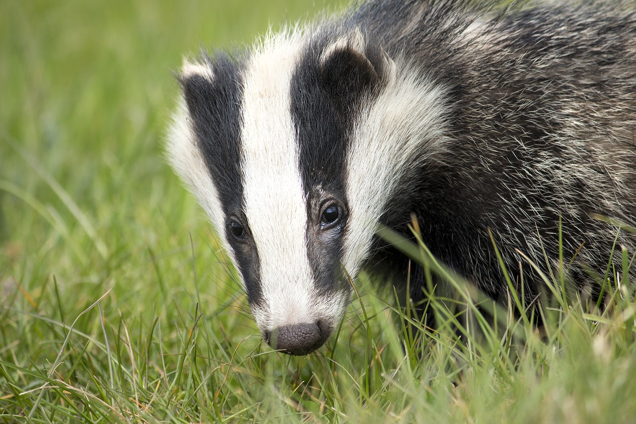 Lib Dems to bring motion banning badger culling before BCP