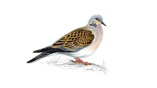 key_turtledove.jpg