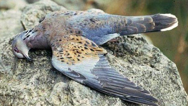 Time for EU to halt Maltese massacre of endangered turtle doves