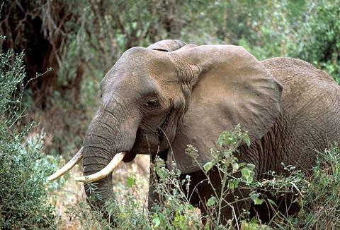 African_elephant_2_resize.jpg