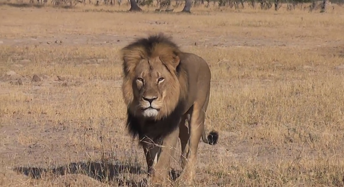 MEP calls for EU hunting trophy ban after killing of Zimbabwe's Cecil the lion
