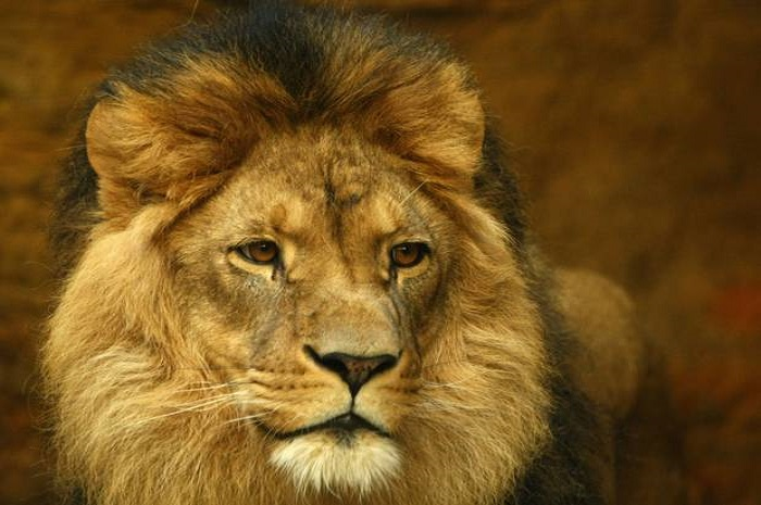 Letter to the US Ambassador to the EU: Ban the import of lion hunting trophies