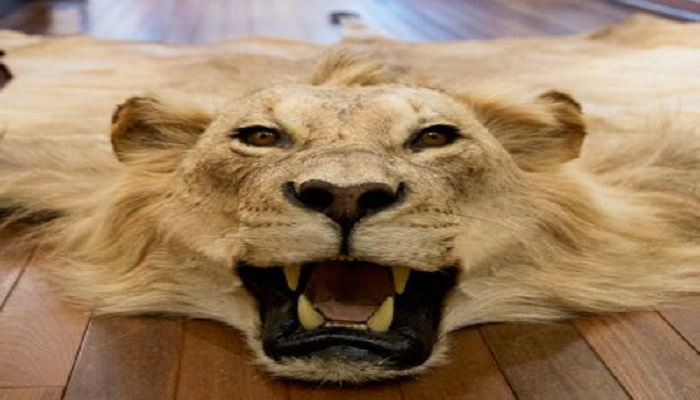 France bans lion hunting trophies - now full EU ban is needed