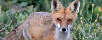 fox-990px.jpg