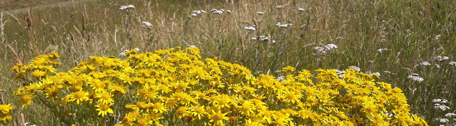 Meadow Verges in Welwyn Hatfield