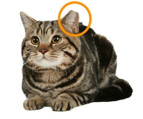 Ear-tipped-cat3.jpg