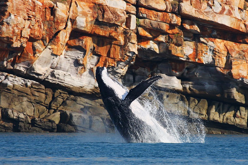 The Kimberley coast is the nursery for the world's largest humpback whale population. Each year, 35,000 humpback whales migrate to the Kimberley to give birth.