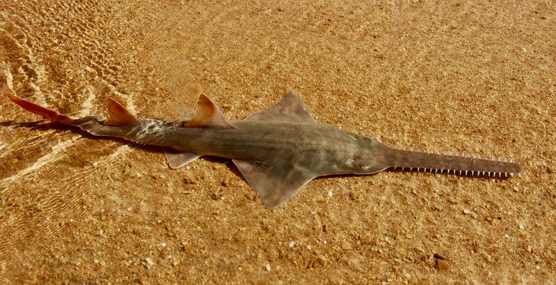 #10. Freshwater Sawfish