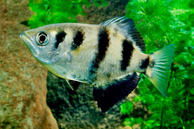 #1. Kimberley Archerfish