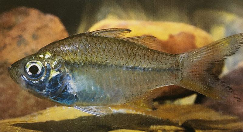 #5.Fitzroy River Glassfish