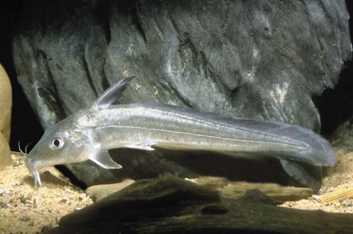 #8.Toothless Catfish