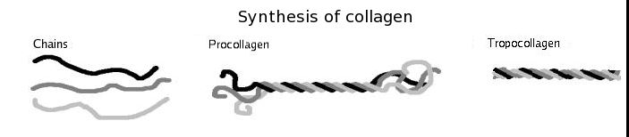 collagen formation
