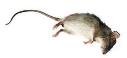 dead-rat.JPG