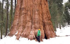 redwood-tree.jpg