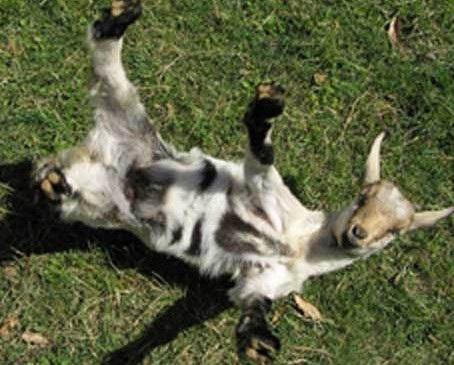goat_1.jpg
