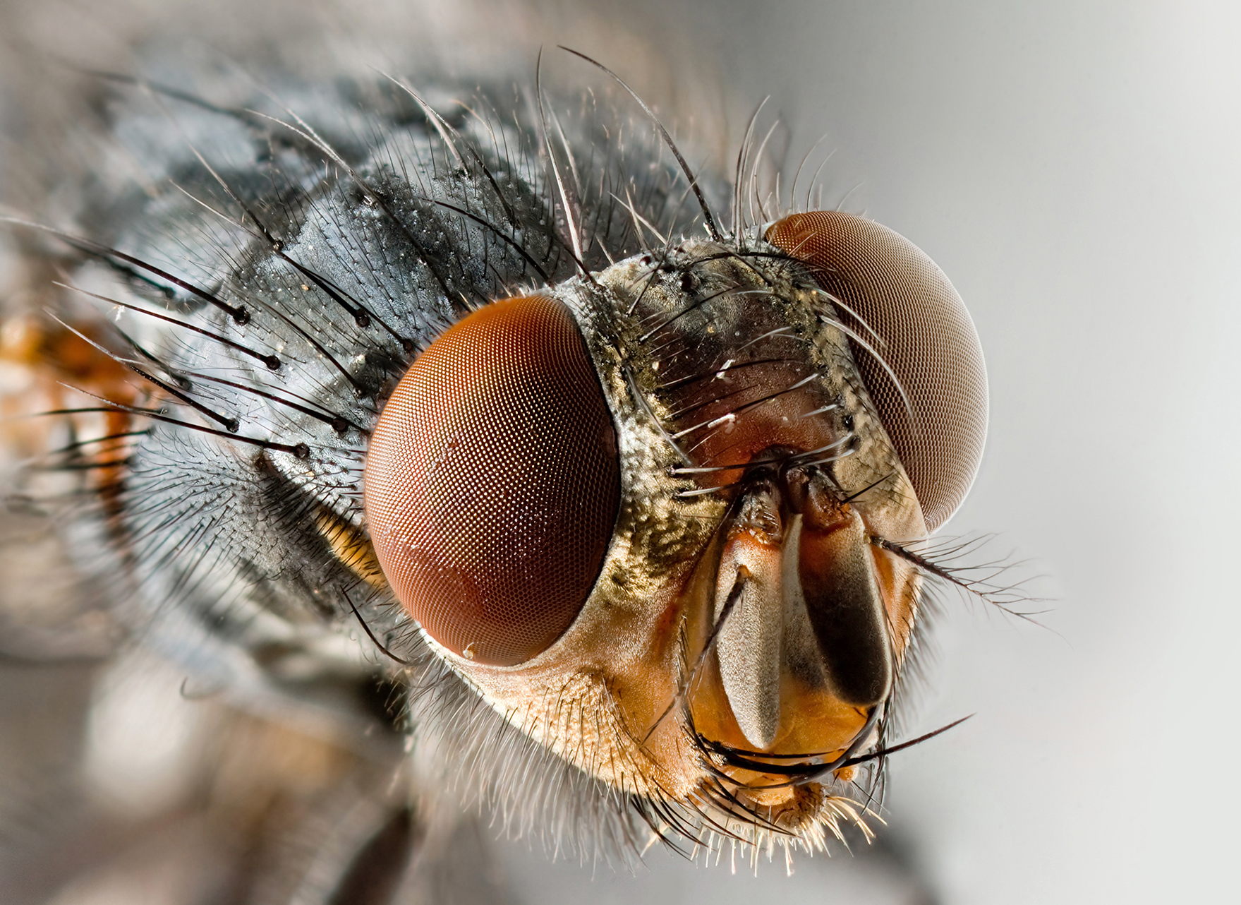 FLY_Sarcophagid_fly_Portrait.jpg