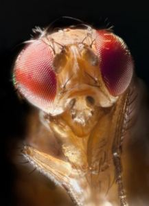 living-medicine-fruit-fly-217x300.jpg