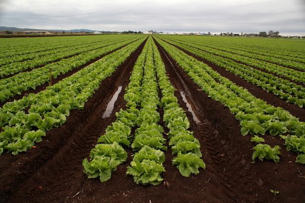 lettuce_0.jpg