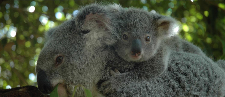 koala_bub_copy.jpg