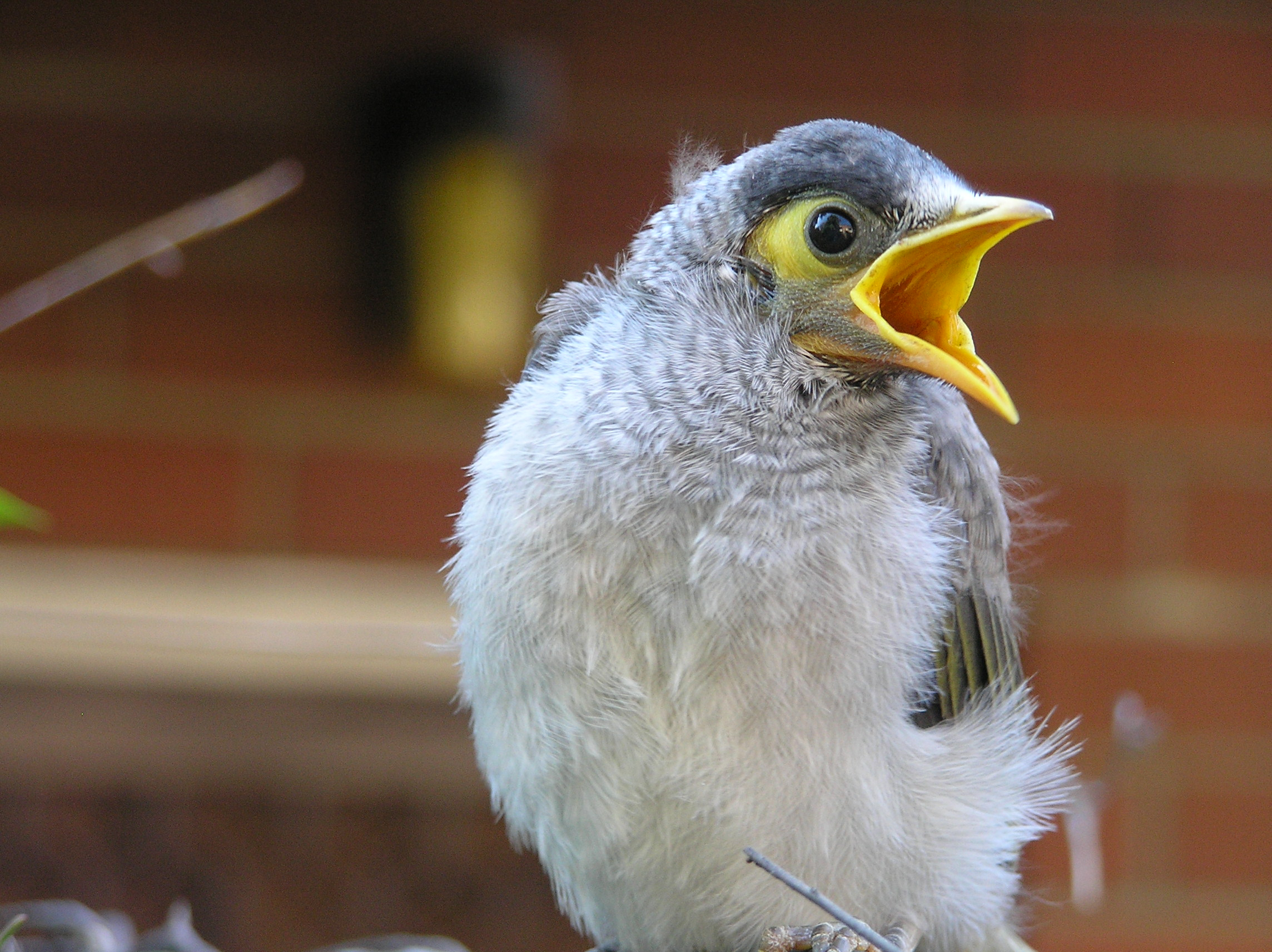 Hungry_Juvenile_Noisy_Miner_in_SydneyAustralia.jpeg