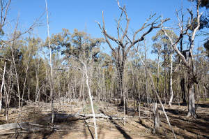 Dead trees adjacent to a coal seam gas project in the Pilliga Forest