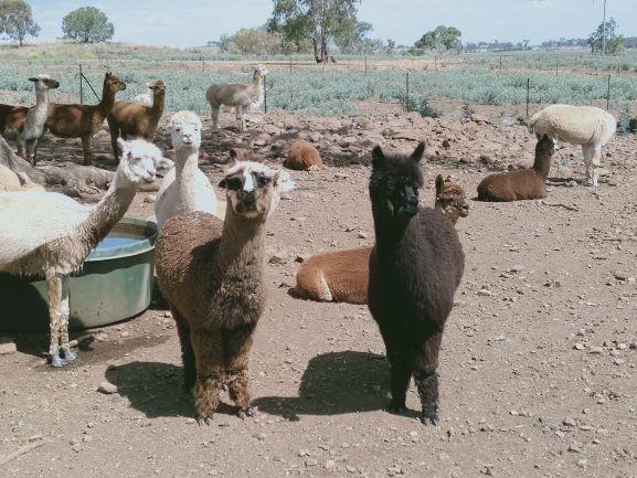 Alpacas on a farm near Acland
