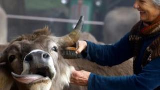 Cattle can keep their horns