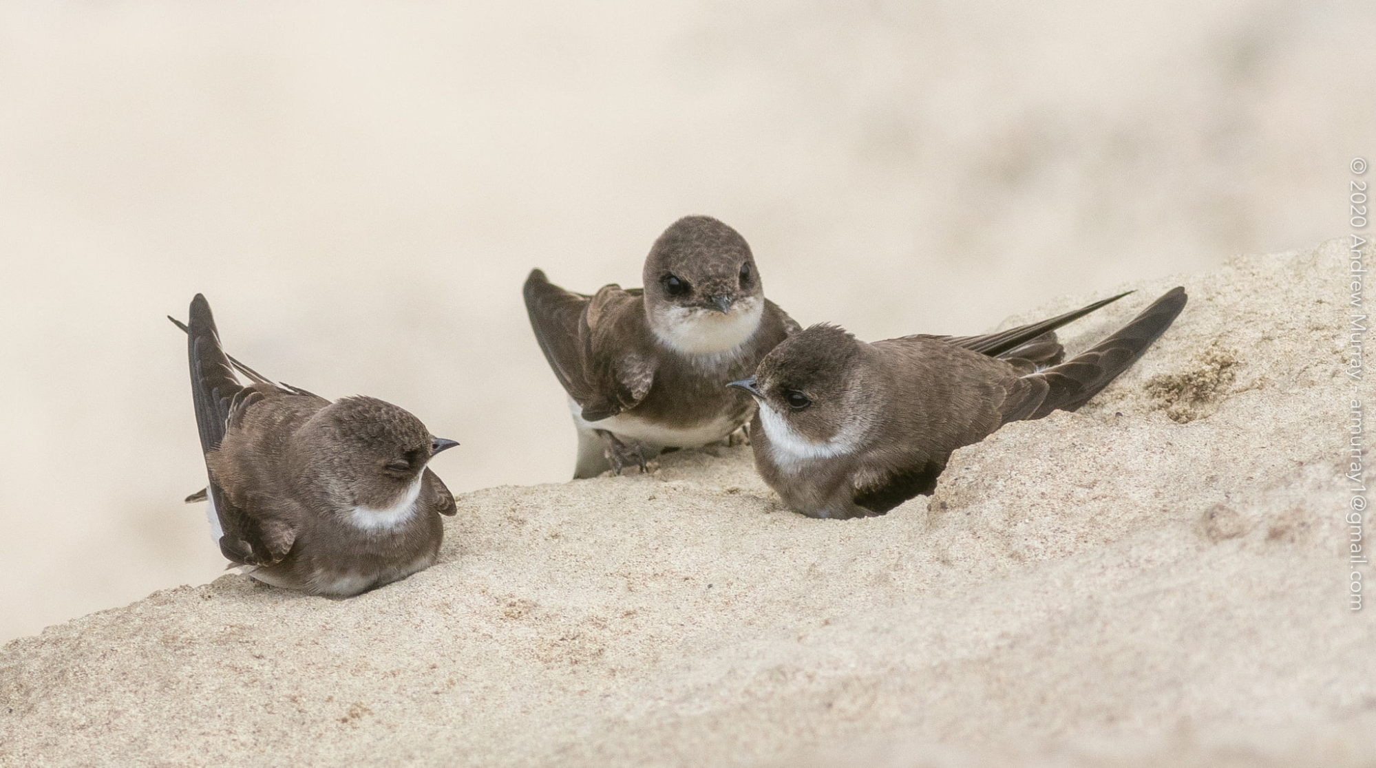 Three young bank swallows resting near their nest burrow.