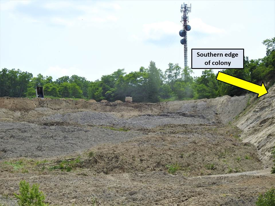 Dump trucks depositing mounds of fill adjacent to the breeding bank swallow colony (visible on cliff face at right) at Byron gravel pit on June 26 2020.