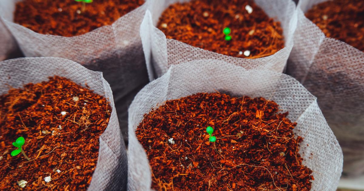 Tobacco seedlings